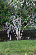 The stems of dead shrubs line a tidal drainage channel at Blackie Spit in Surrey, British Columbia, Canada