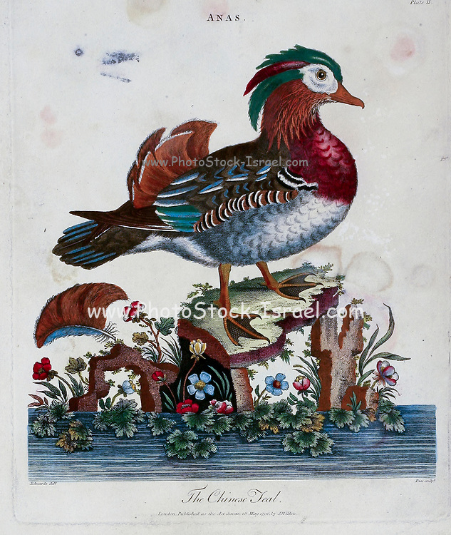 Anas. The Chinese teal [Mandarin duck, Aix galericulata ] Copper engraving with hand colouring from Encyclopaedia Londinensis, or, Universal dictionary of arts, sciences, and literature [miscellaneous plates] by Wilkes, John Publication date 1796-1829