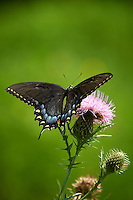 Black Swallowtail Butterfly on Thistle Bloom. Sourland Mountain Preserve, Summer Nature in New Jersey. Image taken with a Nikon D700 and 28-300 mm VR lens (ISO 200, 300 mm, f/5.6, 1/500 sec). Raw image processed with Capture One Pro 6, Nik Define, and Photoshop CS5.