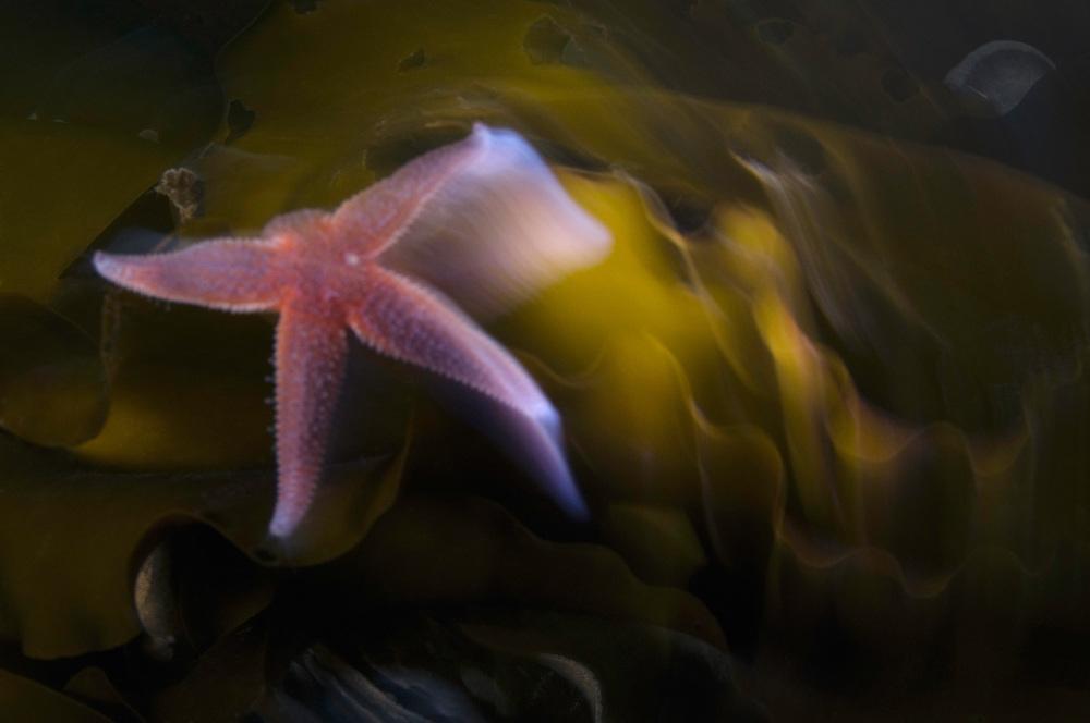 Common starfish, Asterias rubens<br /> Atlantic marine life, Saltstraumen, Bodö, Norway