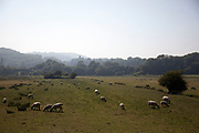 Sheep grazing in a field near to the town of Lewes, East Sussex.