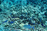 hunting coalition of blue goatfish or gold-saddle goatfish, Parupeneus cyclostomus, with bluefin jacks or omilu or bluefin trevally, Caranx melampygus, and a whitemouth moray eel, Gymnothorax meleagris, Kohanaiki, North Kona, Hawaii ( the Big Island ), USA ( Central Pacific Ocean )