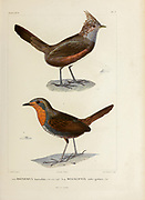 hand coloured sketch Top: Crested Gallito (Rhinocrypta lanceolata [Here as Rhinomya lanceolata]) Bottom: Chucao Tapaculo (Scelorchilus rubecula rubecula [Here as Megalonix rufogularis]) From the book 'Voyage dans l'Amérique Méridionale' [Journey to South America: (Brazil, the eastern republic of Uruguay, the Argentine Republic, Patagonia, the republic of Chile, the republic of Bolivia, the republic of Peru), executed during the years 1826 - 1833] 4th volume Part 3 By: Orbigny, Alcide Dessalines d', d'Orbigny, 1802-1857; Montagne, Jean François Camille, 1784-1866; Martius, Karl Friedrich Philipp von, 1794-1868 Published Paris :Chez Pitois-Levrault et c.e ... ;1835-1847