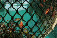 A man tends grouper holding pens in the Raja Ampat Islands.  Groupers are for the live fish trade to Hong Kong.