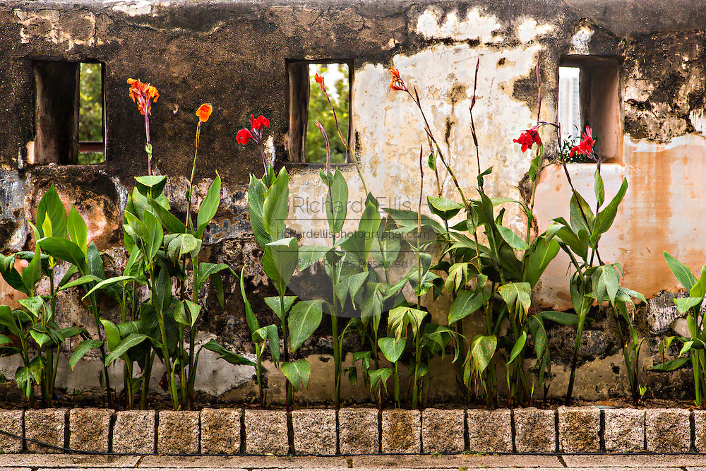 Canna flowers growing in Fortaleza do Monte or Monte Forte Macau.
