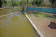 Israel, Golan Heights, Hamat Gader Crocodile farm. Nile crocodile (Crocodylus niloticus)