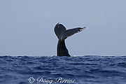 humpback whale, Megaptera novaeangliae, tail wave, Kona, Hawaii, caption must note photo was taken under NMFS research permit #587