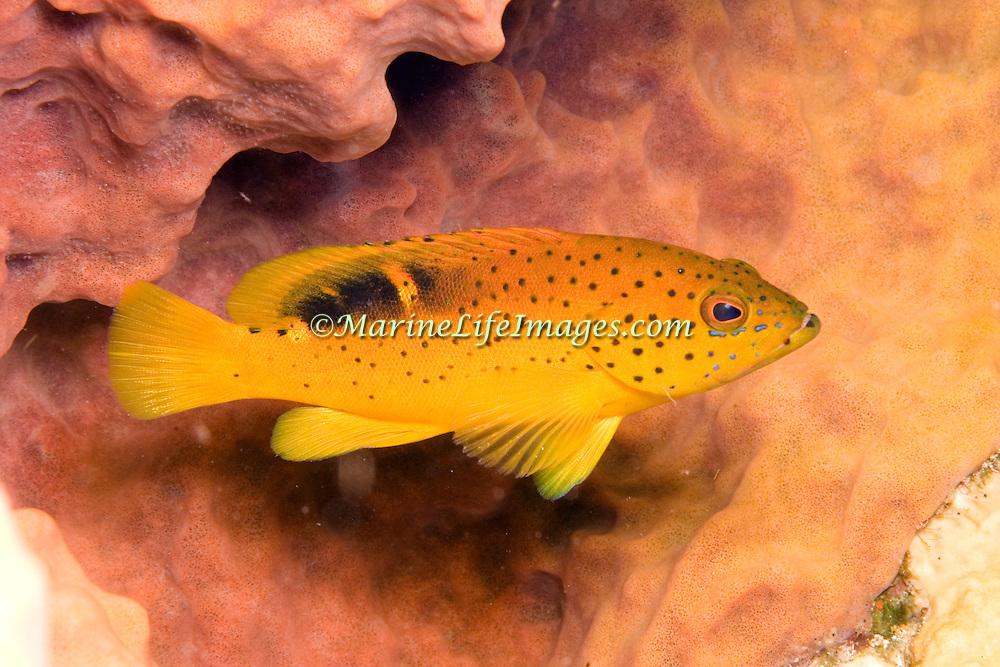 Coney, golden variation juvenile, inhabit reefs in Tropical West Atlantic; picture taken St. Vincent.