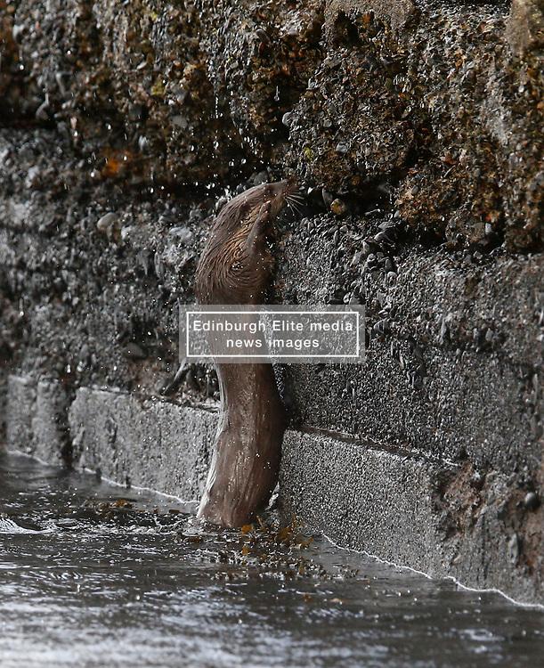 An otter climbing a vertical sea wall to enter it's holt on Loch Etive…… (c) Stephen Lawson | Edinburgh Elite media