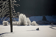 Frost-covered trees in winter, Yellowstone National Park