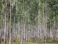 Forest in Nong Khai Province, Thailand, Southeast Asia