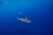 Carcharhinus albimarginatus (Silvertip Shark)