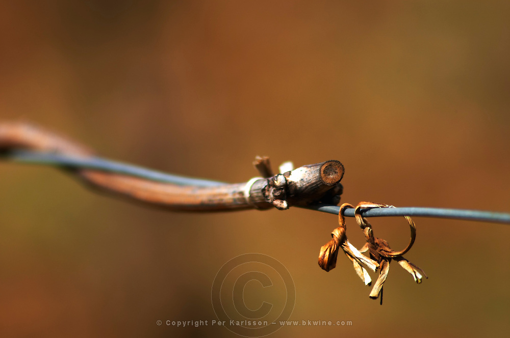 pinot noir twig on wire clos des langres ardhuy nuits-st-georges cote de nuits burgundy france