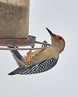 Red-bellied Woodpecker (Melanerpes carolinus). Image taken with a Leica CL camera and Sigma 100-400 mm lens.