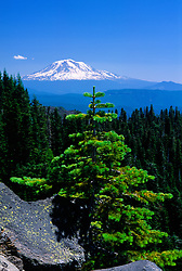 Lonesome Pine Tree and Mt. Adams from Monitor Ridge, Mt. St. Helens, Mt. St. Helens National Volcanic Monument, Washington, US, July 2004