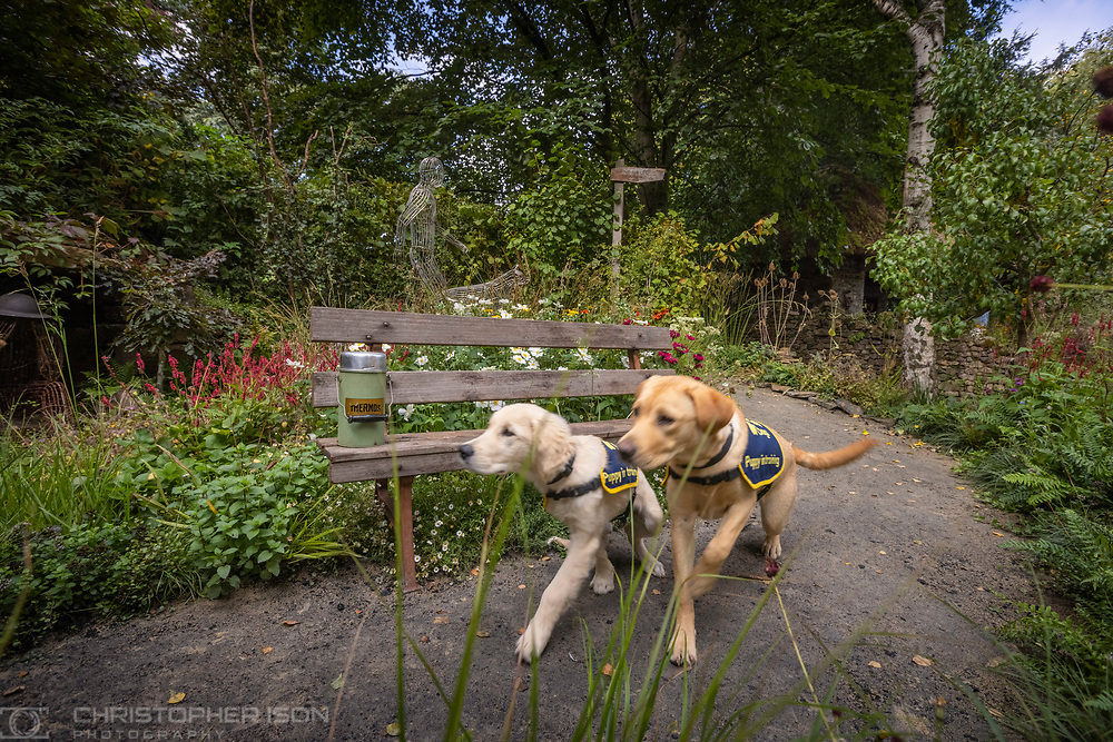 Guide Dog puppies in training, Chelsea and Flash, pictured in the Artisan Garden at RHS Chelsea which has been created this year in celebration of 90 years of guide dog partnerships in Britain. Flash is a female, eight-month-old Labrador named for Guide Dogs's 90th anniversary and Chelsea is 18 weeks-old and named to celebrate the event.<br /> Picture date: Monday September 20, 2021.<br /> Photograph by Christopher Ison ©<br /> 07544044177<br /> chris@christopherison.com<br /> www.christopherison.com