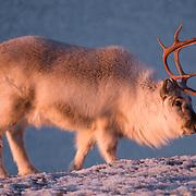 Svalbard reindeer, grazing along the coast. Svalbard, Norway