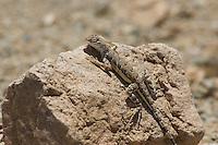 Zebra-tailed lizard, Callisaurus draconoides. Saguaro National Park, Arizona