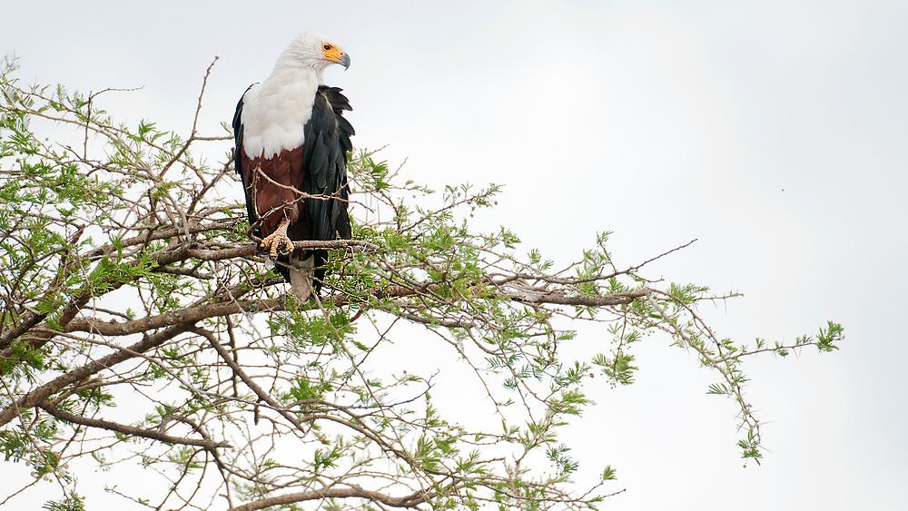 African Fish Eagle (Haliaeetus vocifer) from the White Nile, Uganda.