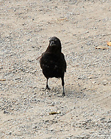 Northwestern Crow (Corvus caurinus). Big Cedar, Olympic National Park, Washington. Image taken with a Nikon D200 camera and 18-70 mm lens.