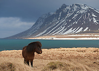 Icelandic Horse at Snæfellsnes Peninsula, West Iceland.