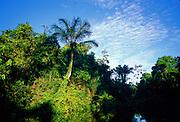 Palms on riverbank - Amazonia, Peru.