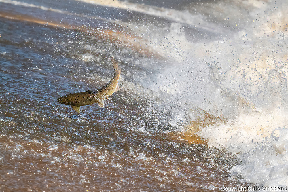 Selkirk, Scottish Borders, Scotland, UK. 4th October 2020. An Atlantic Salmon leaps up the Ettrick Water near Selkirk in the Scottish Borders. Salmon return to their original freshwater spawning pool to breed in the autumn months after migrating to the sea.