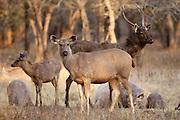 Indian Sambar, Rusa unicolor, deer herd in Ranthambhore National Park, Rajasthan, India