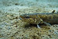 Burbot<br /> <br /> Christopher Morey/Engbretson Underwater Photography