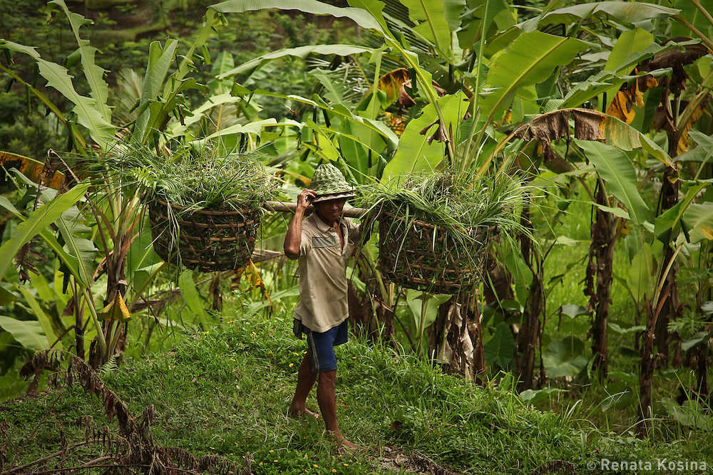 A Balinese farmer carries out baskets from steep terraced banana field north of Ubud, Bali.