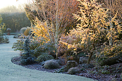 First light catching the foliage of Larix decidua 'Little Bogle' syn L. europaea - larch, in the dell bed on a frosty winter's morning. Lawn curving towards urn focal point in the distance. Design: John Massey, Ashwood Nurseries