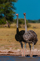 Male and female ostriches, Nxai Pan National Park, Botswana.