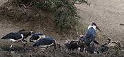 Scavenging birds including hooded vultures (Necrosyrtes monachus),  white-headed vultures (Trigonoceps occipitalis), hooded vultures (Necrosyrtes monachus),  lappet-faced vultures (Torgos tracheliotos),  marabou storks (Leptoptilos crumenifer) gather round the carcass of a cape buffalo (Syncerus caffer). Serengeti National Park, Tanzania.