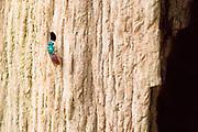 Ruby-tailed wasp (Chrysis ignita?) parasitising host nest burrow in dead oak tree. Ashtead Common NNR, Surrey, UK.