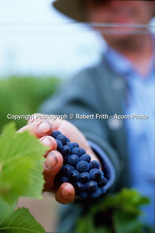 Vintage; red grape picking