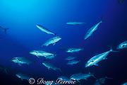 amberjack, Seriola dumerili, wreck of the Papoose, <br /> North Carolina ( Atlantic )