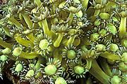 polyps of daisy coral or <br /> flowerpot coral, Goniopora sp.,<br /> Gato Island Marine Reserve, <br /> off Cebu Island, Philippines