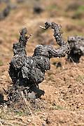 gobelet training old vine sandy soil Bodega La Setera, DO Arribes del Duero spain castile and leon