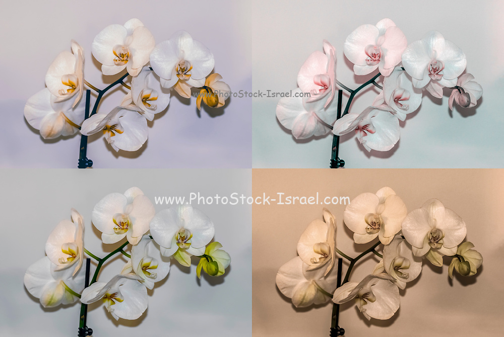 Digitally enhanced image of four White Phalaenopsis Orchid images