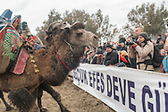 TURKEY, Izmir, Selçuk.   Competing camels wrestle during the 35th Selçuk Camel Wrestling Festival.