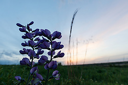 Blue wild indigo (Baptisia australis) on Blackland Prairie, High Point Park and Wildflower Preserve, Farmersville, Texas, USA.