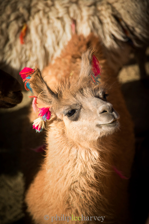 Llama, Atacama Desert, Chile, South America