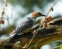 Red-bellied Woodpecker. Image taken with a Nikon N1V3 camera and 70-300 mm VR lens.