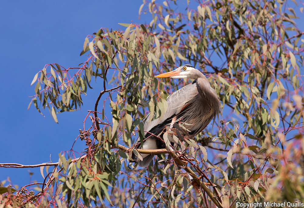 Great Blue Heron perched in the eucalyptus tree