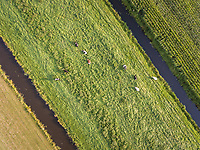Aerial view of cows in the meadow in The Netherlands.