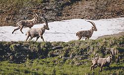 THEMENBILD - Steinböcke in freier Wildbahn oberhalb der Franz Josefs Höhe . Die Hochalpenstrasse verbindet die beiden Bundeslaender Salzburg und Kaernten und ist als Erlebnisstrasse vorrangig von touristischer Bedeutung, aufgenommen am 25. Juni 2020 in Fusch a.d. Glstr., Österreich // Wildlife Ibexes near the Franz Josefs Hoehe. The High Alpine Road connects the two provinces of Salzburg and Carinthia and is as an adventure road priority of tourist interest, Fusch a.d. Glstr., Austria on 2020/06/25. EXPA Pictures © 2020, PhotoCredit: EXPA/ JFK
