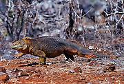 Land iguana , Galapagos Islands, Ecuador