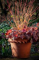 Winter pot combination with Cornus sanguinea 'Midwinter Fire' and × Heucherella 'Sweet Tea'.