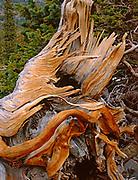 Detail of Fallen Bristlecone Pine, Great Basin National Park, Nevadada