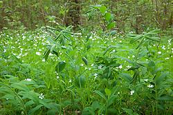 Solomon's Seal growing wild in a woodland with Stitchwort. Polygonatum multiflorum, Stellaria holostea
